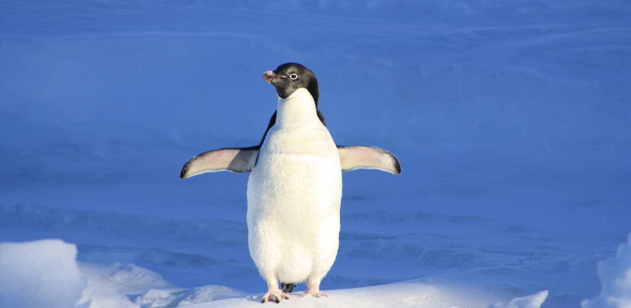 penguin-funny-blue-water-86405